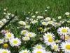prato con fiori