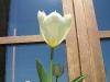tulipano della finestra sala colazione