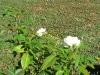 le rose bianche
