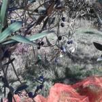 raccolta olive ottobre 2015